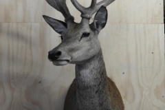 right-deer