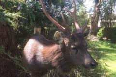 sambar deer dark
