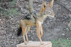 fox1_cr