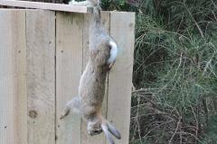 dead rabbitt