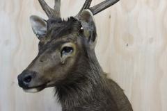 deer1_cr